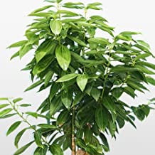 Bonsai Green Tree cinnamon seeds, indoor seeds 6pcs