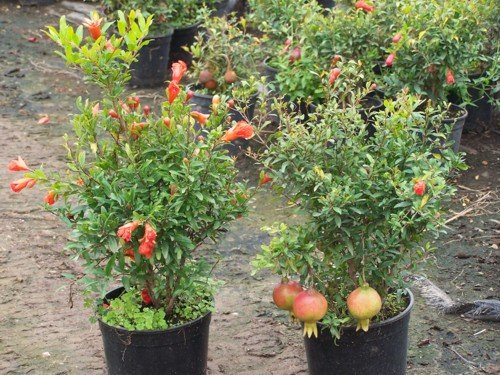 Buy Dwarf Fruit Trees - Punica granatum nana or Dwarf Pomegranate 20+ seeds