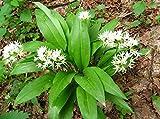 Herb Seeds Ramsons, Buckrams, Wild Garlic Organic Russian Heirloom Herbs Seed