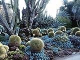 Blue Chalk Sticks, Blue Stick Succulent - Senecio Mandraliscae Live Plant