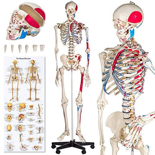 TecTake Human skeleton anatomical model Life Size 181cm + poster + ...