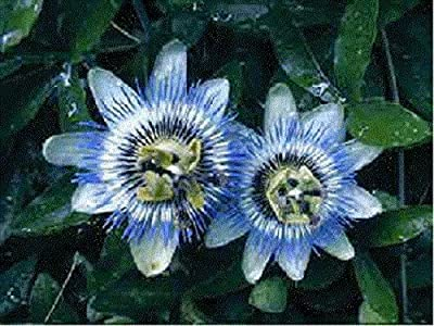 10+ Passiflora Caerulea Blue Passion Flower