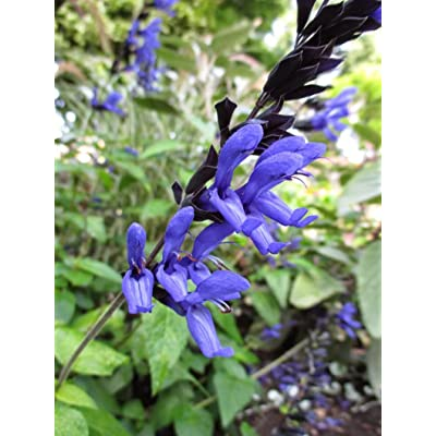 Black and Blue Salvia Attracts Pollinating Insects and Hummingbirds : Garden & Outdoor