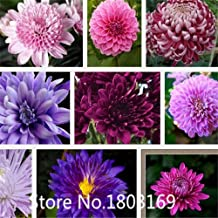 China Aster Flower Seeds, Mixed Color Chrysanthemum seeds,,about 100particles 6 Rare Mix Colors