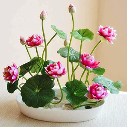 Amazoncom Sholdnut 5pcsbag Seeds Dwarf Lotus Flower Mixed Colors