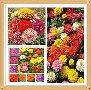 20PC semillas de margaritas auténtico. flores de colores semillas de bonsái, todo tipo de colores, la siembra sencilla