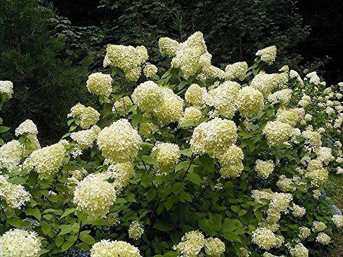 50 Pee GEE Hydrangea Paniculata Peegee Panicle White Pink Flower Shrub -