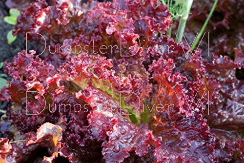 LOLLO ROSSA Organic Lettuce 200+ seeds Lolla Vivid color Highly Frilled NON-GMO