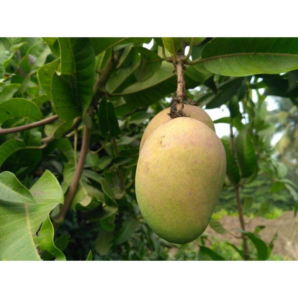 Mango Tree 36 Inch Height in 3 Gallon Pot #BS1