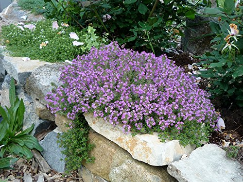 THYME CREEPING Live Plants - Groundcover Plant - 6 LIVE PLANTS