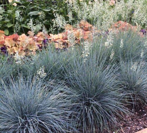 5 Festuca glauca 'Elijah Blue' - Blue Sheep's Fescue - Five Ornamental Grasses