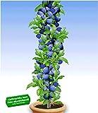 BALDUR-Garten Säulen-Pflaumen 'Black Amber', 1 Pflanze, Prunus domestica Säulenobst winterhart Zwergobstbaum