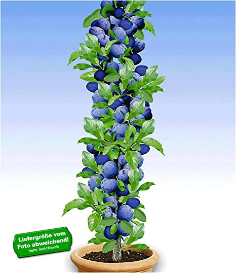 Berühmt BALDUR-Garten Säulen-Pflaumen 'Black Amber', 1 Pflanze, Prunus @LC_66