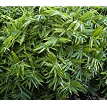 "Dwarf Fernleaf Bamboo - Pleioblastus distichus - Grow Indoors/Out/Bonsai - 4"" Pot"