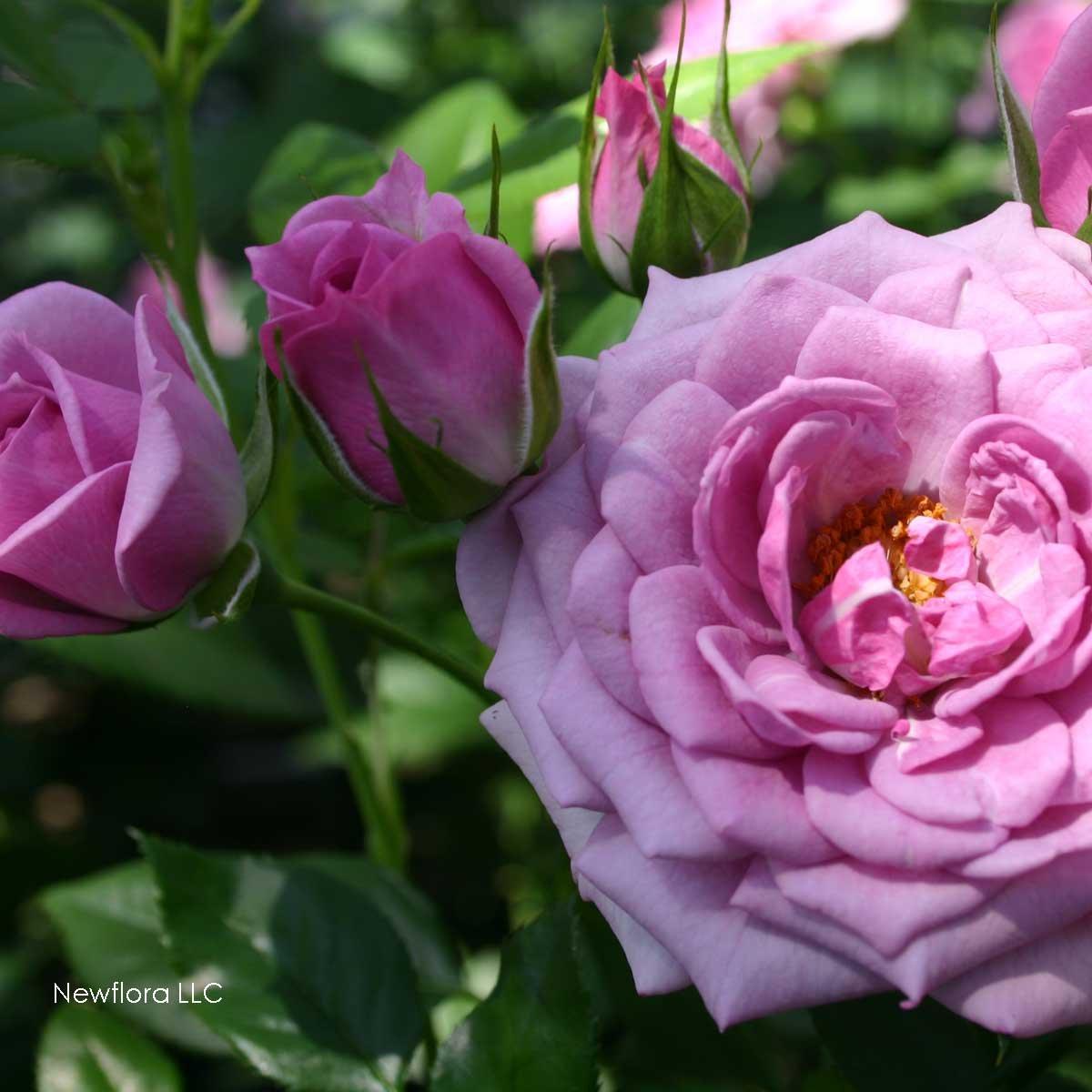 Lavender Veranda Rose Bush Reblooming Purple Fragrant Rose Grown Organic Potted - 35+ Petal Flowers!