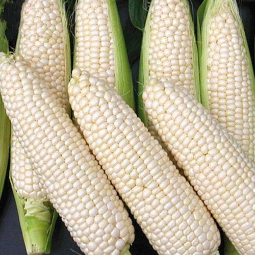 Corn Seeds 30g Sweet Silver Queen Sweet Sticky Corn Super Sweet & Tender Snow White - White corn Survival Garden Vegetable Organic Chinese Fresh Fruit Seeds for Planting outdoor for Cooking Soup Salad