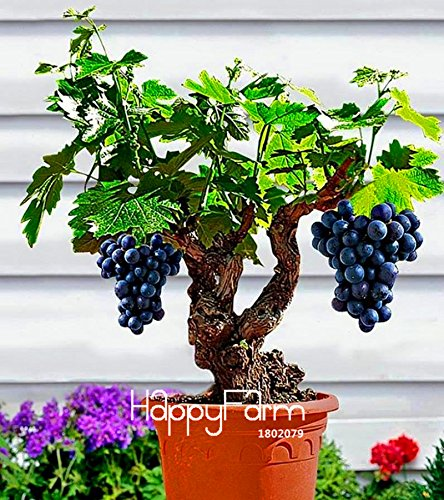Big Sale!Miniature Grape Vine Seeds, PATIO SYRAH, Vitis Vinifera, Houseplant, 50 Seeds, Fruit bonsai seeds - Arcis New