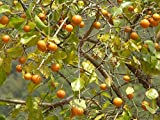 10 fresh SEEDS STRYCHNOS NUX-VOMICA STRYCHINE TREE POISON NUT