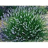 """Findlavender - Lavender French PROVENCE (Blue Flowers) - Very Fragrant - 4"""" Size Pot - Zones 5 - 11 - Bee Friendly - Attract Butterfly - 4 Live Plant"""