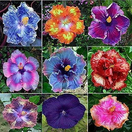 Generic Dinnerplate Hibiscus Seeds: Amazon.in: Garden & Outdoors