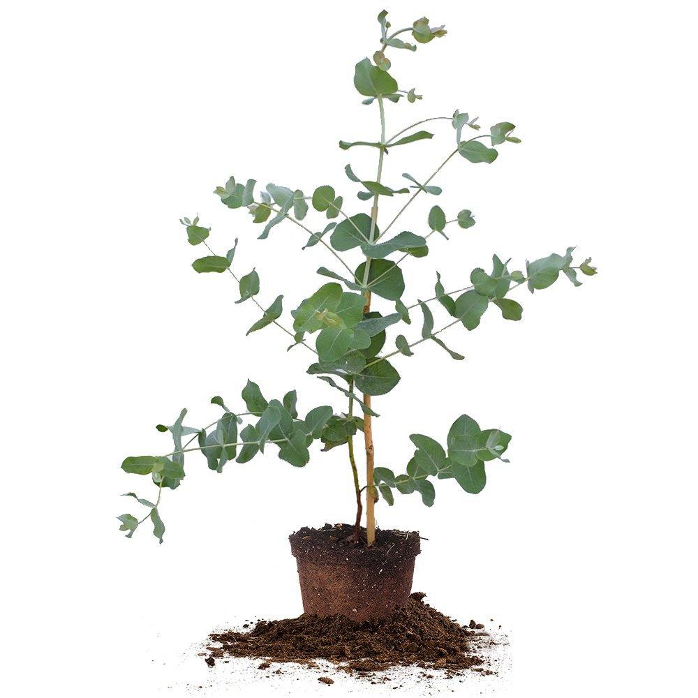 Silver Dollar Eucalyptus Tree - Size:  4-5 ft, live plant, includes special blend fertilizer & planting guide
