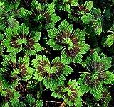Perennial Geranium PHAEUM SAMOBOR Patterned Mottled Leaves Burgundy Red 10 Seeds