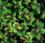 True Source Seeds - Perennial Geranium PHAEUM SAMOBOR Patterned Mottled Leaves Burgundy Red 10 Seeds