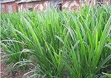Asklepios-seeds - 100 seeds of Pennisetum purpureum, rare giant Elephant gras, Napier gras, Ugandagras, grows up to 6m in height
