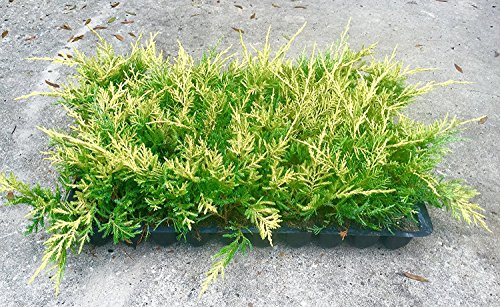 Saybrook Gold Juniper Qty 30 Live Plants Groundcover by Florida Foliage (Image #6)