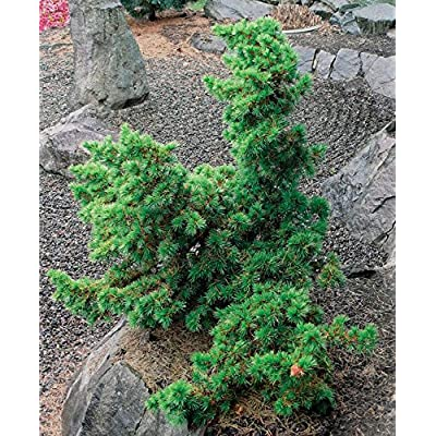 Green Prince Cedar of Lebanon - A Dwarf That Only Grows to 4 Feet Tall 1 -Year Live Plant : Garden & Outdoor