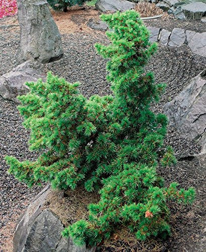 (Green Prince Cedar of Lebanon - A Dwarf That Only Grows to 4 Feet Tall 1 -Year Live)