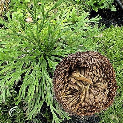 ESHOO 1 Piece Resurrection Plants Hydrophile Jericho Rose Plant