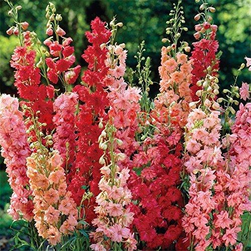 SVI Larkspur-Rose Smile Flower Seeds everblooming Flowers Garden [Home Garden Seeds eco Pack] Plant Seeds by
