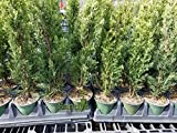 Sandys Nursery Online Cypress Italian Cupressus sempervirens 'Stricta' 4 inch pot ~Lot of 30~