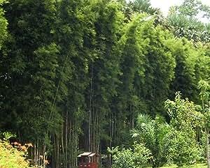 Thyrsostachys oliveri - Mid-size bamboo - 5 seeds