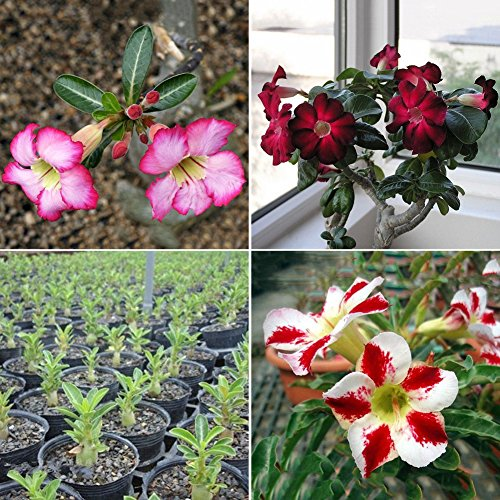 Blisscomdep 20Pcs New Adenium Obesum Seeds Desert Rose Perennial Flower Seeds Garden Bonsai Plant ()