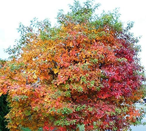 """1-2"""" Sassafras Tree, Potted Plant, Roots Used in Rootbear Flavoring, Great as a Accent Plant, Flowers are just Spectacular, Picture Shows a Fall Season Mature Tree"""