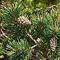 40 Seeds - Scotch Pine Tree Seeds (Pinus sylvestris)