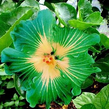 En soldes!!! Les graines d\'arbres HIBISCUS rosa-sinensis fleur d ...