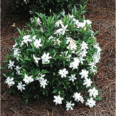 Frost Proof Gardenia (Cape Jasmine) - Trade Gallon: Garden & Outdoor