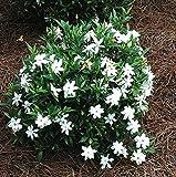 Frost Proof Gardenia ( Cape Jasmine ) - Trade Gallon