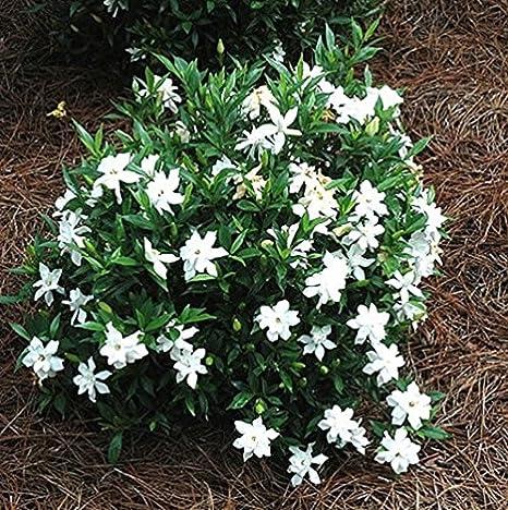 Amazon.com: Frost Proof Gardenia (Cape Jasmine) - Trade Gallon ...