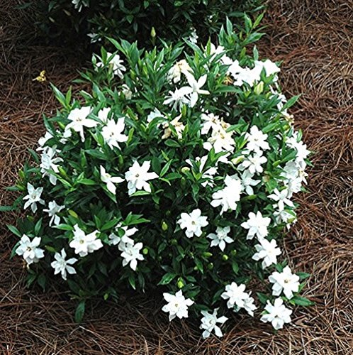 Frost Proof Gardenia - Cape Jasmine - Live Plant - Trade Gallon -