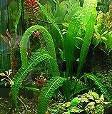 Aponogeton Bolivianus Bulb - Large Aquarium Plant