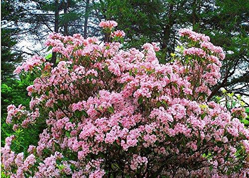 100 Mountain Laurel seeds (Kalmia latifolia)Ornamental ,showy ,shrub,Tree - Mountain Shrubs Laurel