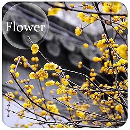 Amazon com : ADB Inc 2016 Heirloom Yellow Wintersweet Calyx