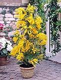 Acacia d'argento 25 Semi/Acacia dealbata/un nobile albero mediterraneo per casa, giardino, terrazza e balcon