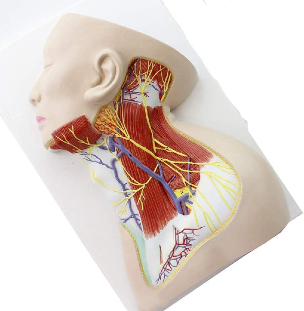 T-Models 1:1 Human Neck Anatomical Model Neck Local Structure Superficial Muscle Neurovascular Anesthesia Teaching Display Models