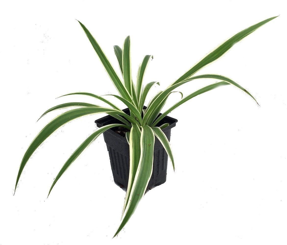 GEOPONICS Reverse Variegated Spider Plant Cleans The Air 4 Pot Indoor Best Gift Easy Grow
