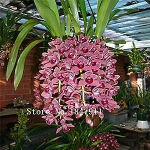 Grandes venta hermosa cara de mono orqu deas semillas for Orchidee da esterno